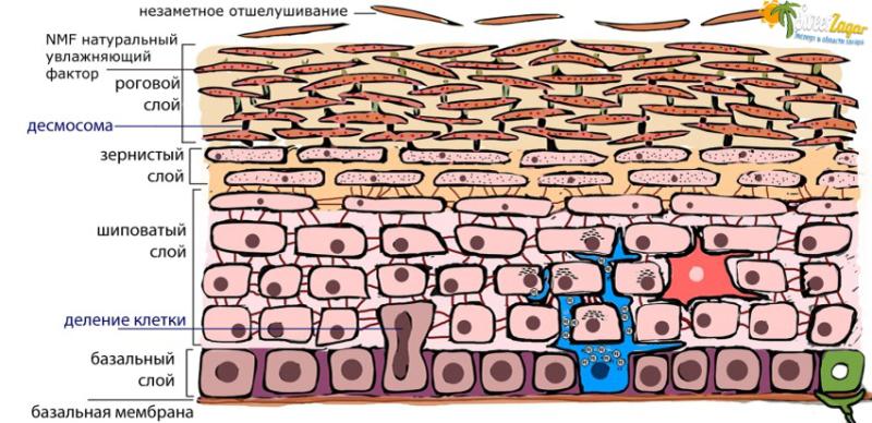 Много разных типов клеток, у каждого своя функция